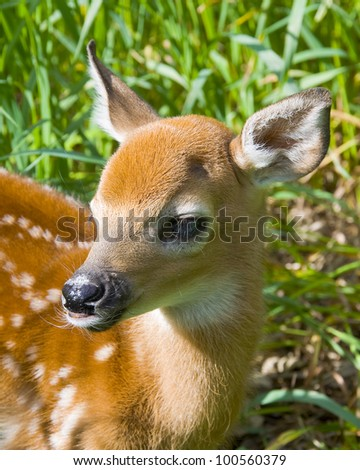 Whitetail Deer Fawn in Full Sunlight - stock photo