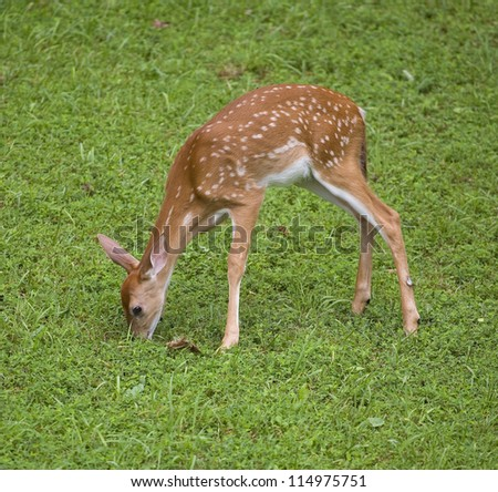 Whitetail deer fawn in spots that is eating some grass - stock photo