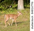 Whitetail deer fawn near a forest that is walking on grass - stock photo