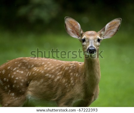 whitetail deer fawn on an overcast day in a green field - stock photo