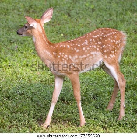 whitetail deer fawn on grass in the morning - stock photo