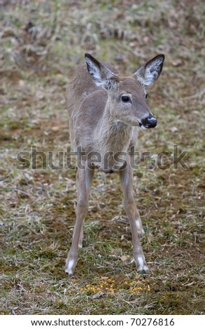 whitetail deer in early spring eating corn