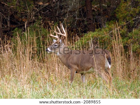 Whitetail Deer in in the Fall-The Great Smoky Mountains - stock photo