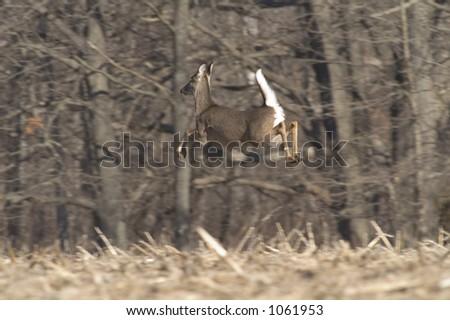 whitetail deer in midair - stock photo