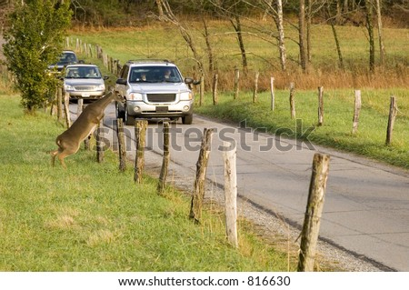 Whitetail deer jumps fence in front of cars (possible car-deer collision) - stock photo