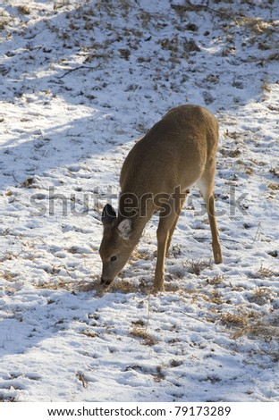 whitetail deer trying to find a meal in snow