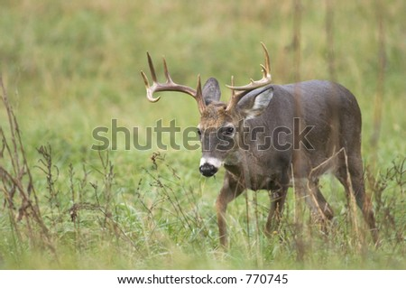 Whitetail deer walking through field