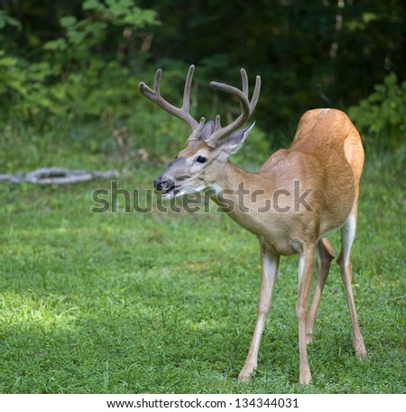 Whitetail deer with antlers in velvet near a dark forest - stock photo