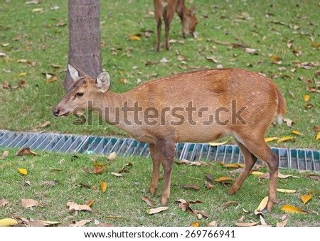whitetail deer yearlings on an autumn field - stock photo