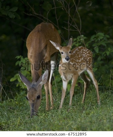 Whitetail doe and its fawn coming from a forest at dawn - stock photo
