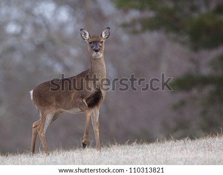 Whitetail Doe Deer in a frosty meadow with raised front foot, Great Smoky Mountains National Park, Tennessee / North Carolina; white tail, white tailed, white-tail, white-tailed,  whitetailed - stock photo