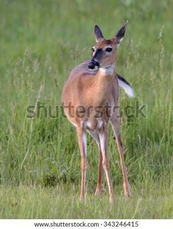 Whitetail Doe looks up from eating