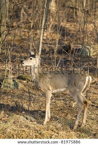 whitetail doe near a forest edge just at sundown
