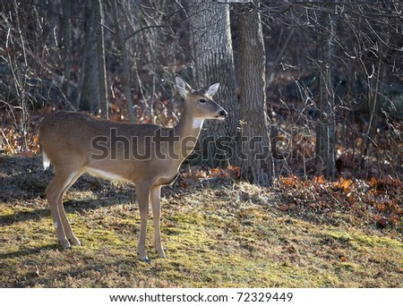 Whitetail doe on the edge of an autumn forest looking at something