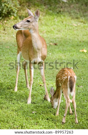 Whitetail doe on watch as its fawn grazes in the grass