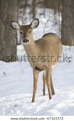 whitetail doe standing in a forest in the snow