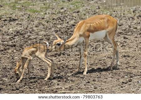 Whitetail doe take care of its fawn - stock photo