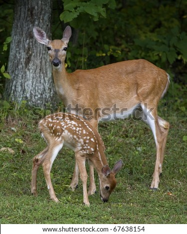 Whitetail doe that is standing guard over an eating fawn - stock photo