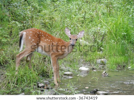 Whitetail fawn gets a drink - stock photo