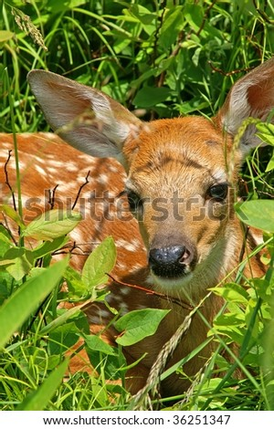 Whitetail Fawn Resting Vertical - stock photo