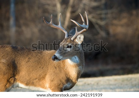Whitetailed deer buck in a meadow in Jefferson Barracks National Cemetery near St. Louis, Missori - stock photo