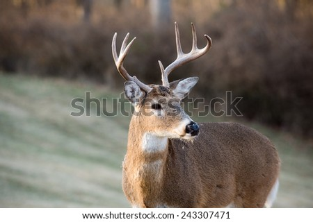 Whitetailed deer buck in a meadow in Jefferson Barracks National Cemetery near St. Louis, Missouri - stock photo