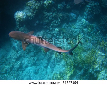 Whitetip reef shark in Red sea - stock photo
