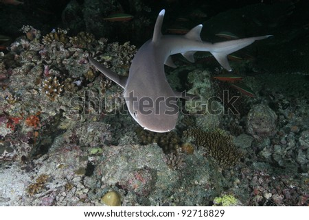 Whitetip reef shark in the coral reef - stock photo