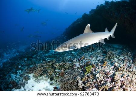 Whitetip reef shark (Triaenodon obesus) - stock photo