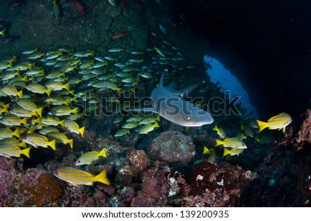 Whitetip reef sharks (Triaenodon obesus) hunt for reef fish on a rocky bottomed reef at night near Cocos Island, Costa Rica.  Cocos, a national park, is known for its large shark population. - stock photo