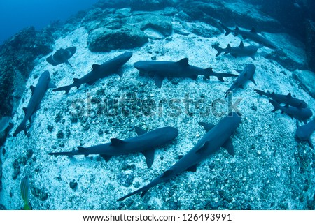 Whitetip reef sharks (Triaenodon obesus) take a rest on the sandy top of a pinnacle during the day.  At night these nocturnal hunters will spread out to search for prey on the surrounding reef. - stock photo