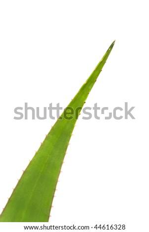 Whole aloe vera leaf isolated on white background - stock photo