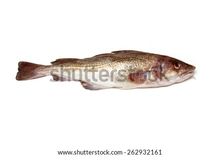 Whole Atlantic cod (Gadus morhua) fish, Isolated on a white studio background. - stock photo