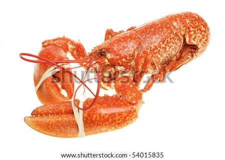 Whole cooked lobster with banded claws