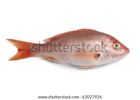 Whole fresh red snapper isolated on white background