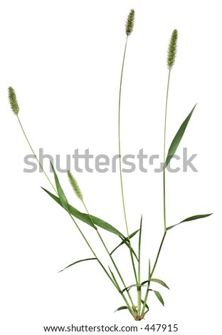 Whole grass plant at seed-bearing stage