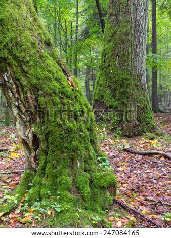 Whole moss wrapped hornbeam and oak in fall - stock photo