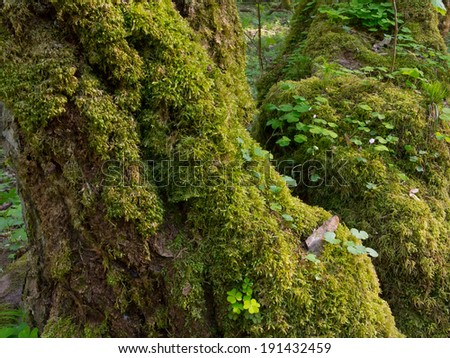 Whole moss wrapped hornbeam with some sorrel in springtime - stock photo