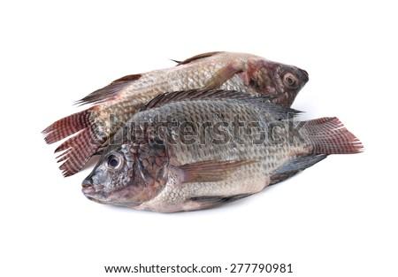 whole round fresh Tilapia fish on white background - stock photo