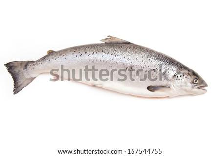 Whole Scottish Atlantic Salmon Salmo salar (3.1kg). Isolated on a white studio background. - stock photo
