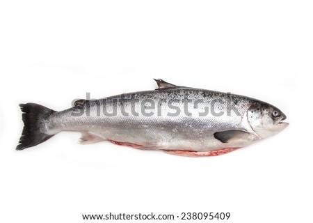 Whole Scottish salmon fish (3.6kg) isolated on a white studio background. - stock photo