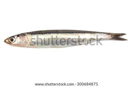 Whole single fresh raw European anchovy isolated on white background - stock photo