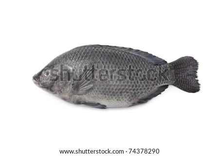 Whole single Fresh raw Tilapia fish isolated on white background - stock photo