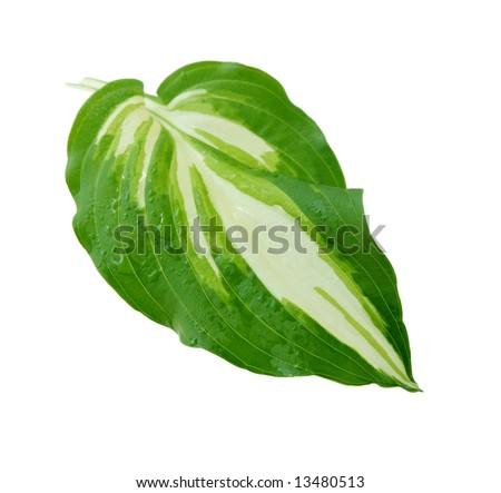 Whole single variegated foliage hosta leaf isolated on white - stock photo