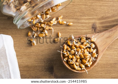 Whole wheat sprouts in wooden spoon and spilling from sprouting jar - stock photo