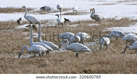 Whooper swan resting, bird migration. Cygnus cygnus, in seasonal movement between breeding and wintering grounds.