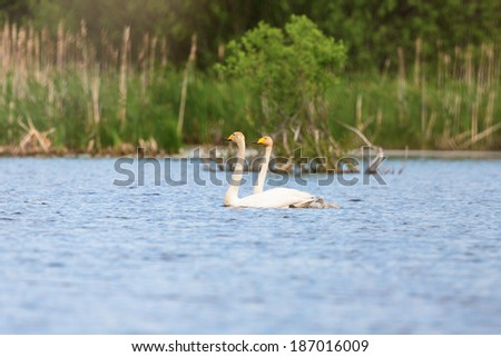 Whooper Swan with young nestlings in a lake