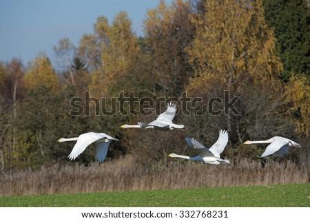 Whooper swans (Cygnus cygnus) continuing their flight during transmigration through Estonia. - stock photo