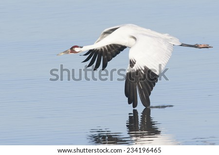 Whooping Crane in Flight with Wing Touching Water and Reflection - stock photo