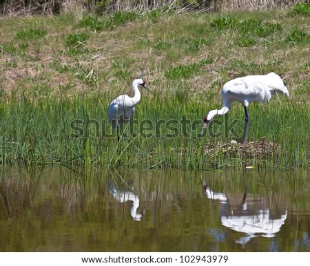 Whooping crane nest